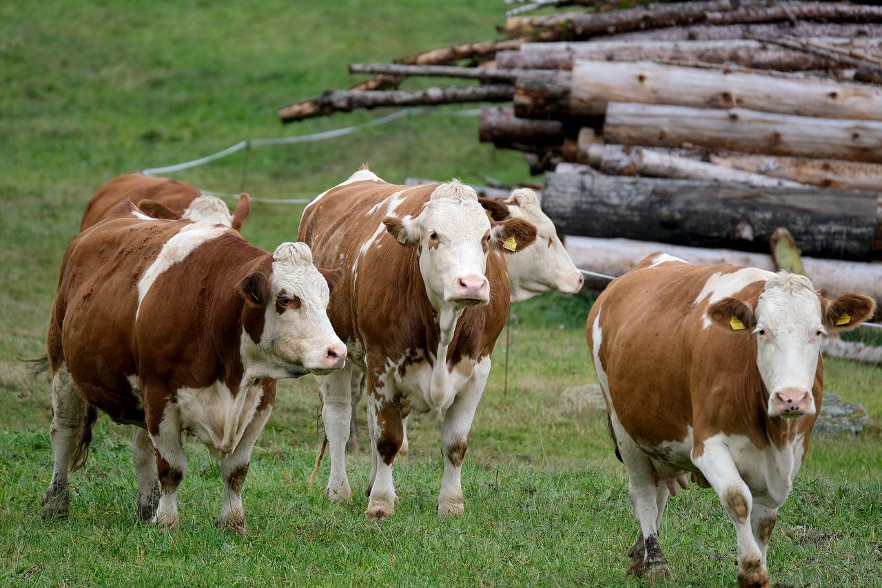Siara krowia – jedna z najlepszych składników w suplementach diety zwiększających odporność